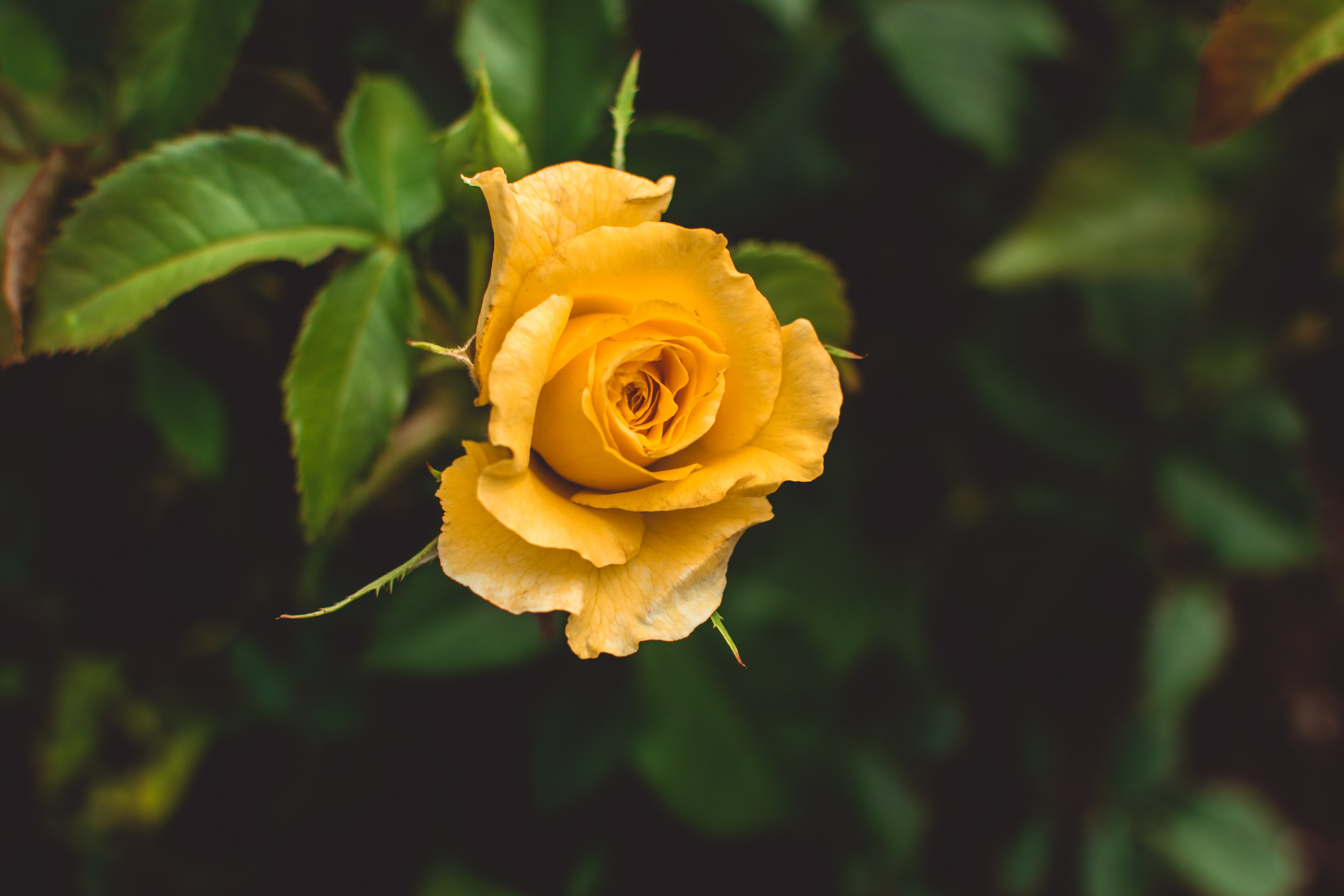 yellow rose in shallow focus photography