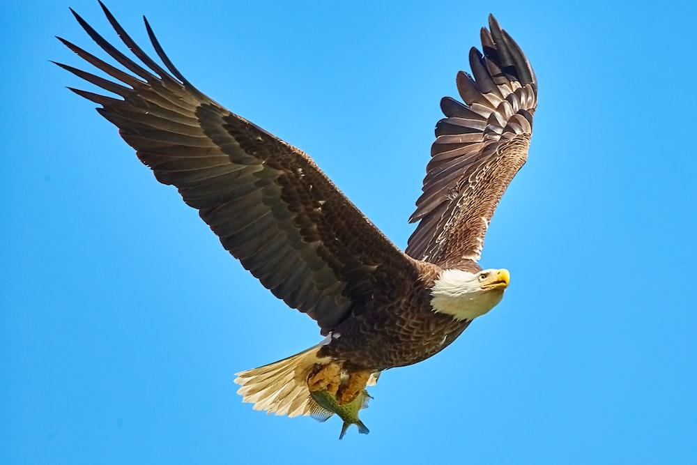 American Bald Eagle flying on sky