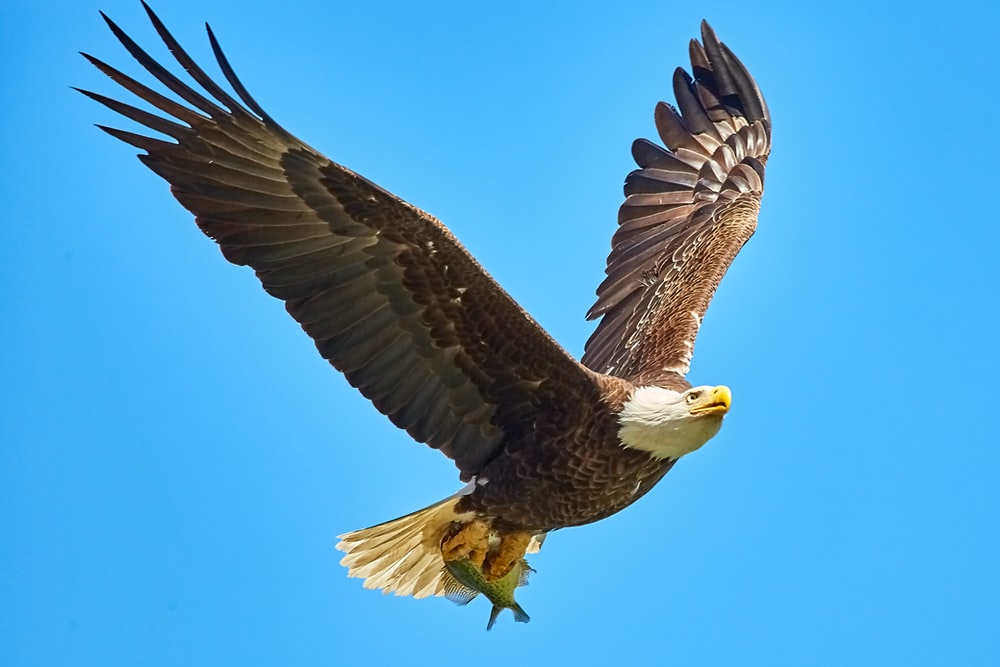 American Bald Eagle flying on sky
