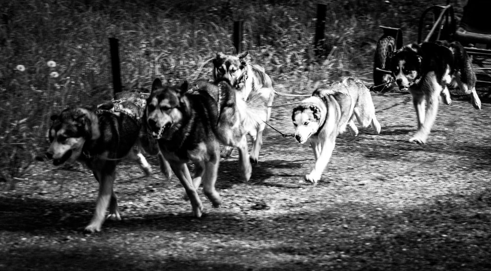 grayscale photography of running dogs