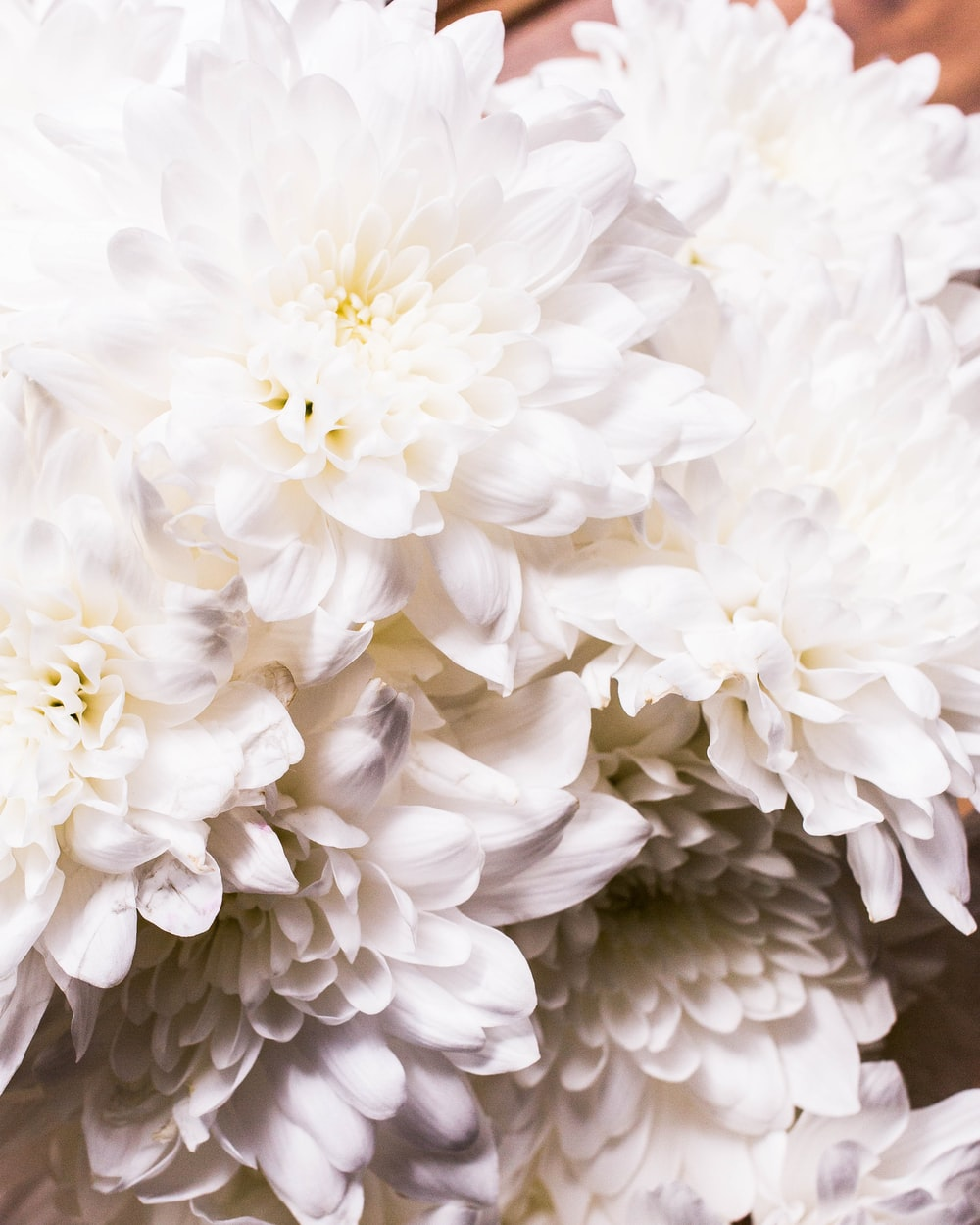 Chrysanthemum Beauty Petal And White Flower Hd Photo By Charisse