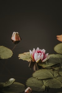 person showing pink flower in pond