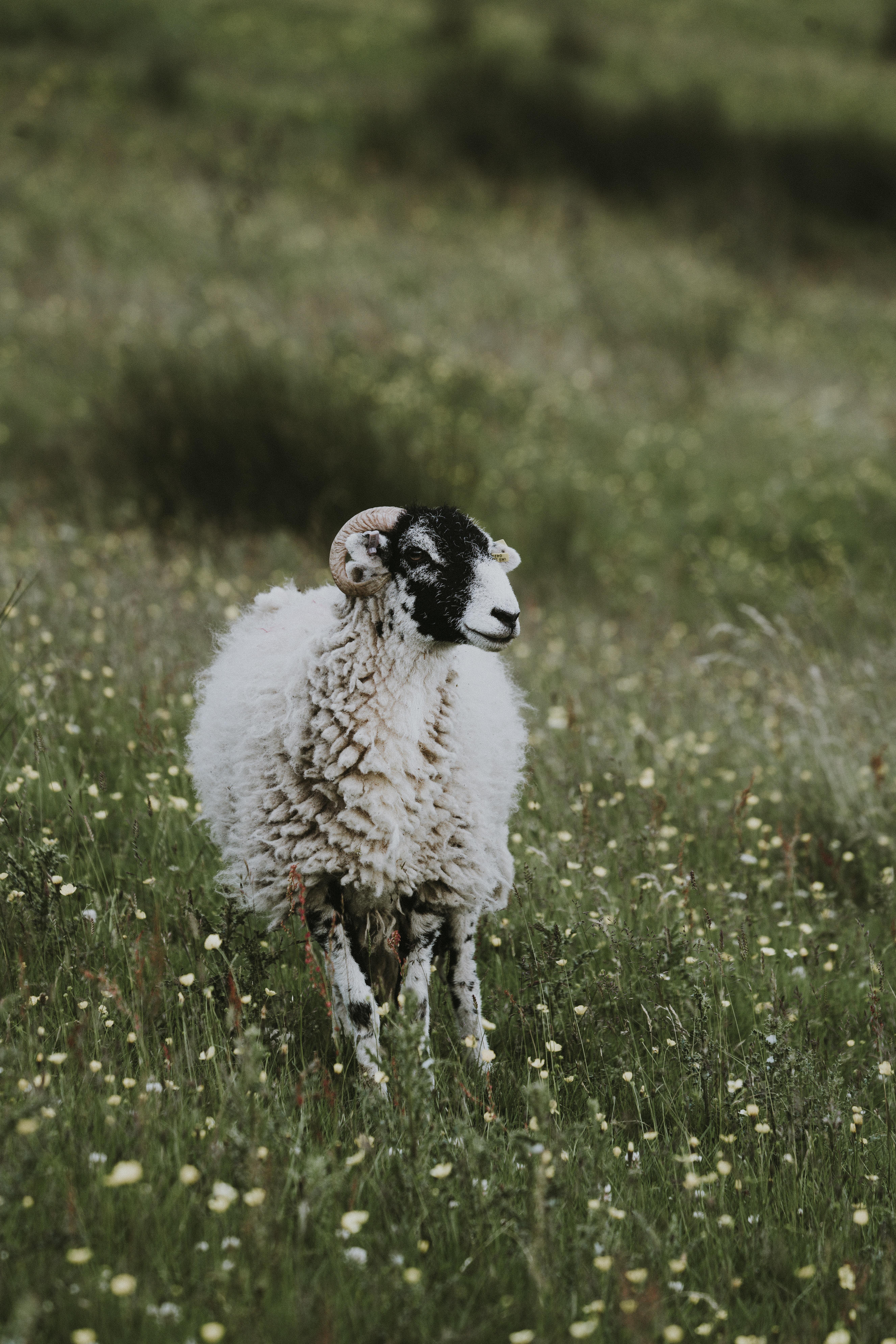 selective focus photo of white ram