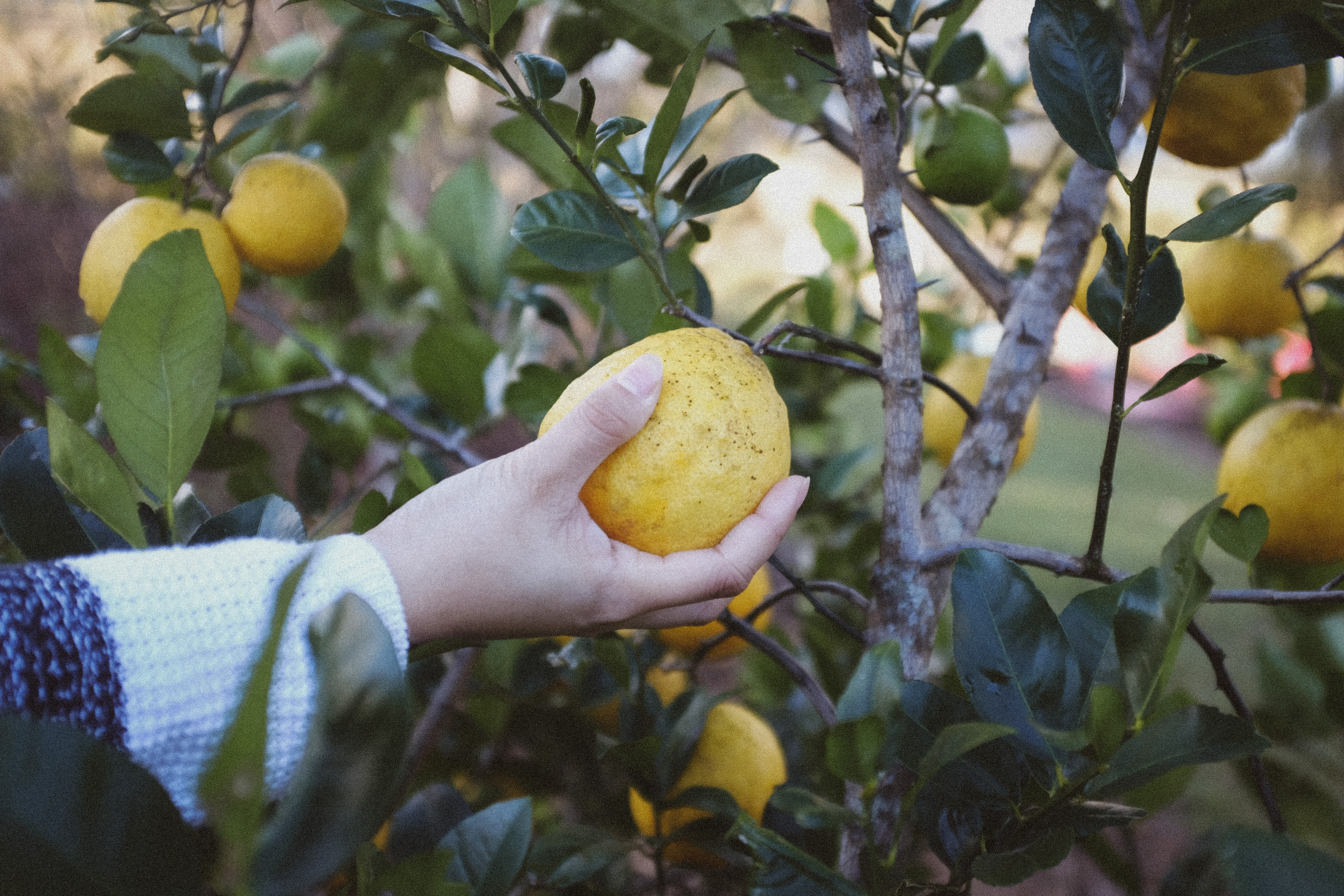 person holding yellow fruit