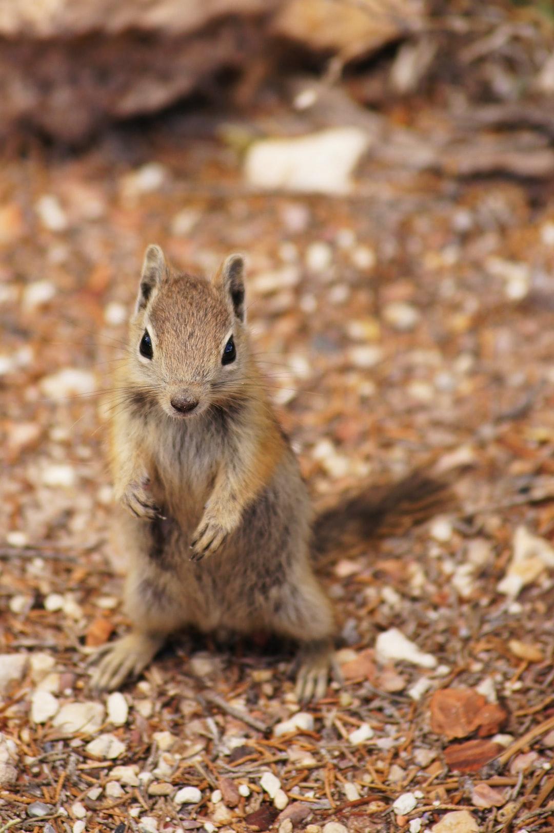 A little chipmunk at Bryce National Park