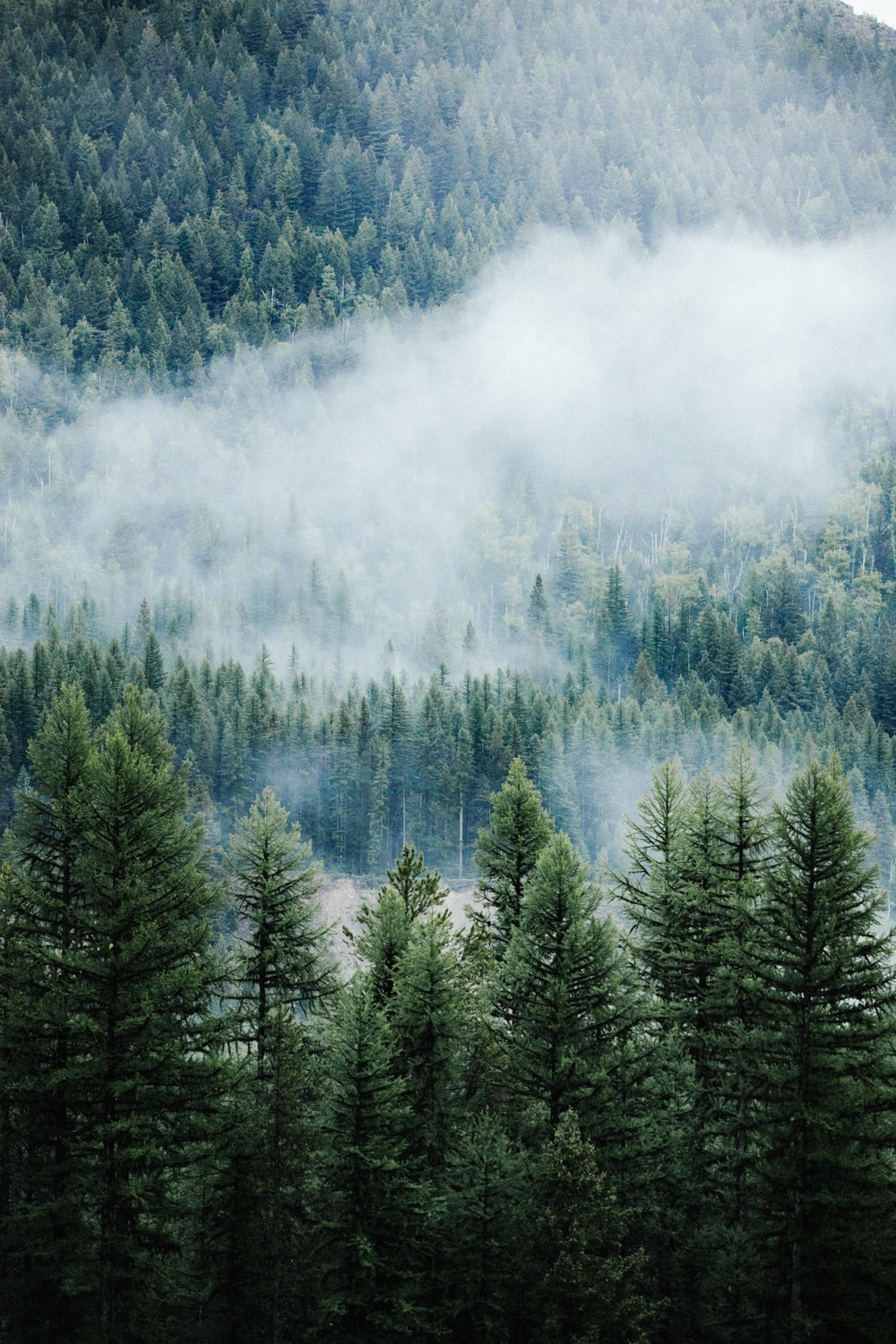 aerial photography of fog covered pine forest