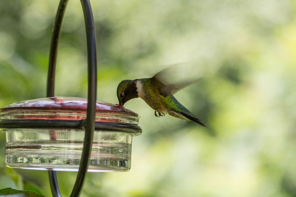 green hummingbird drinking water