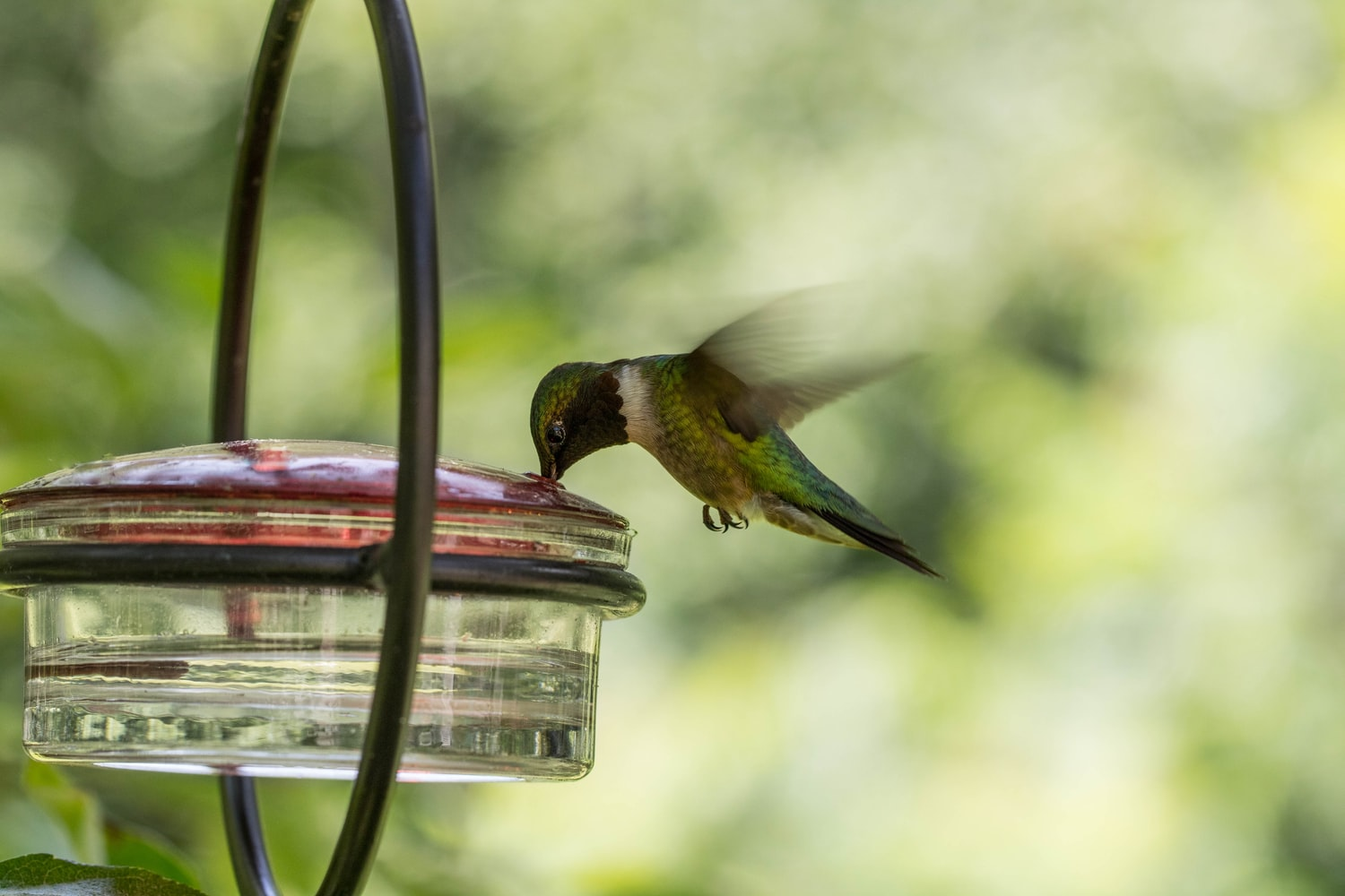 hummingbird drinking water
