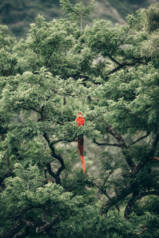 short-beak red bird on tree