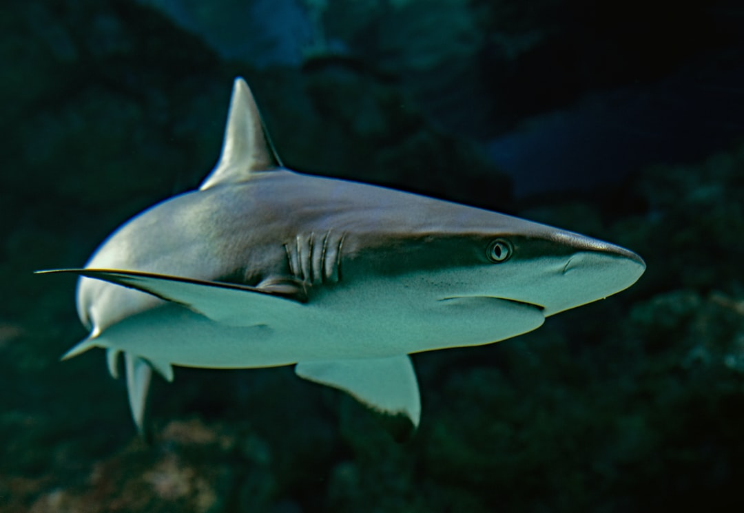 A grey reef shark locks eyes with the photographer. Cairns aquarium, Australia.
