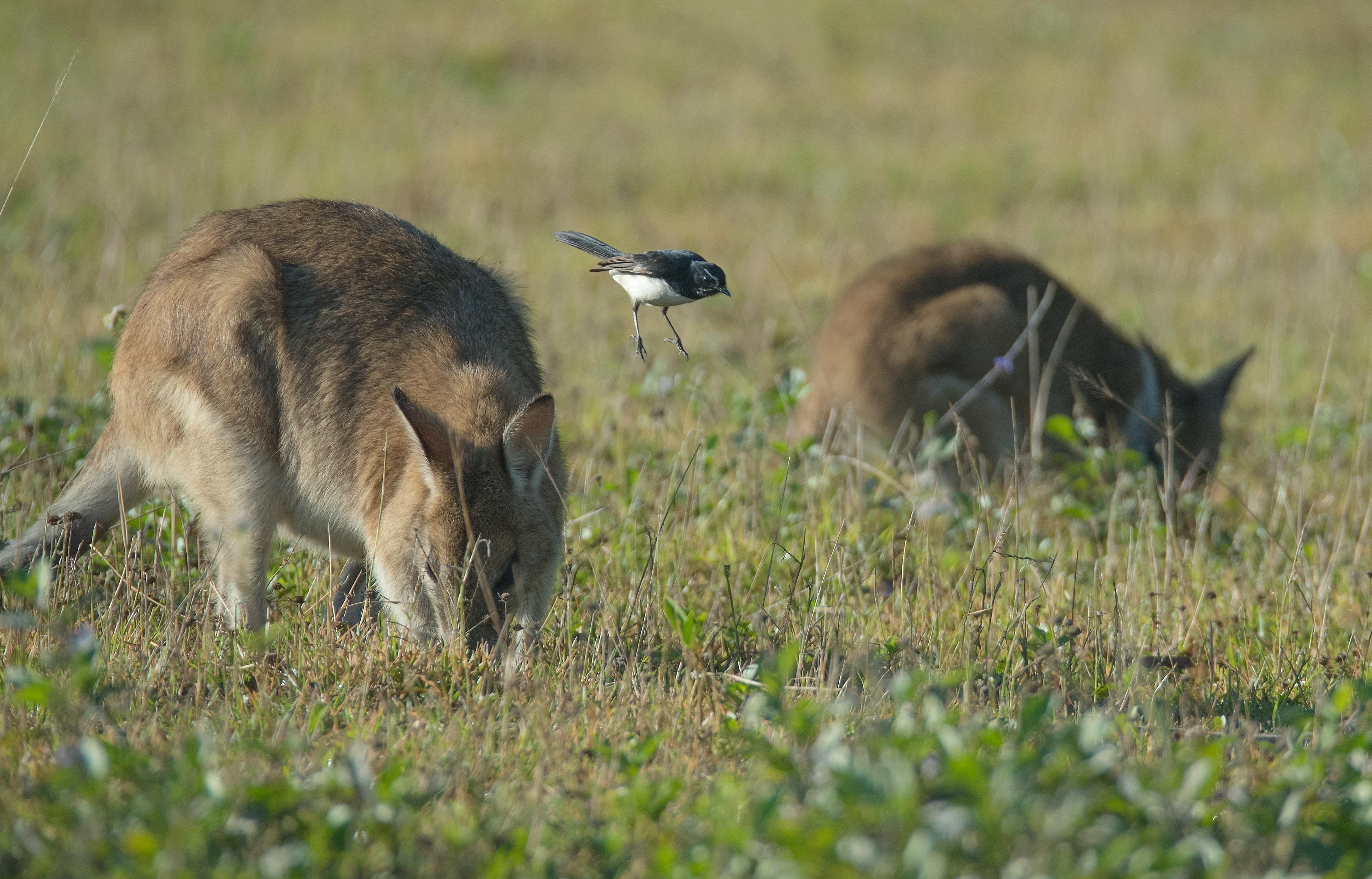 black sparrow and two brown kangaroos on field