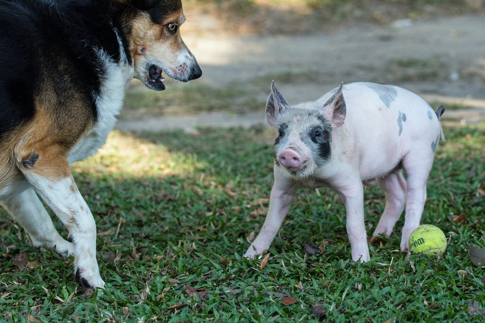 pink and gray pig beside dog