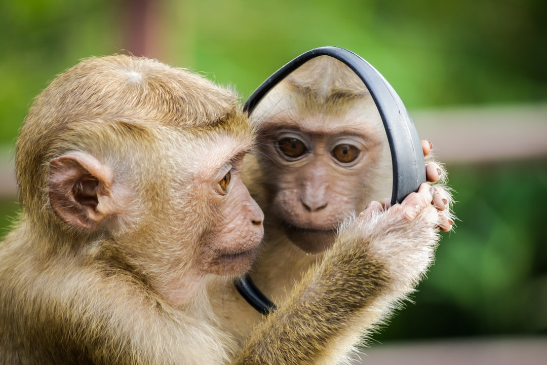 The monkey was absolutely mesmerized by his own image in the mirror. I took a few different photos of this monkey playing with the mirror on my scooter at a location called Monkey Hill in Thailand. The monkey was so gentle and was really happy to stare at his own image. I wonder if the monkey knew it was his own reflection or if he thought it was another monkey.