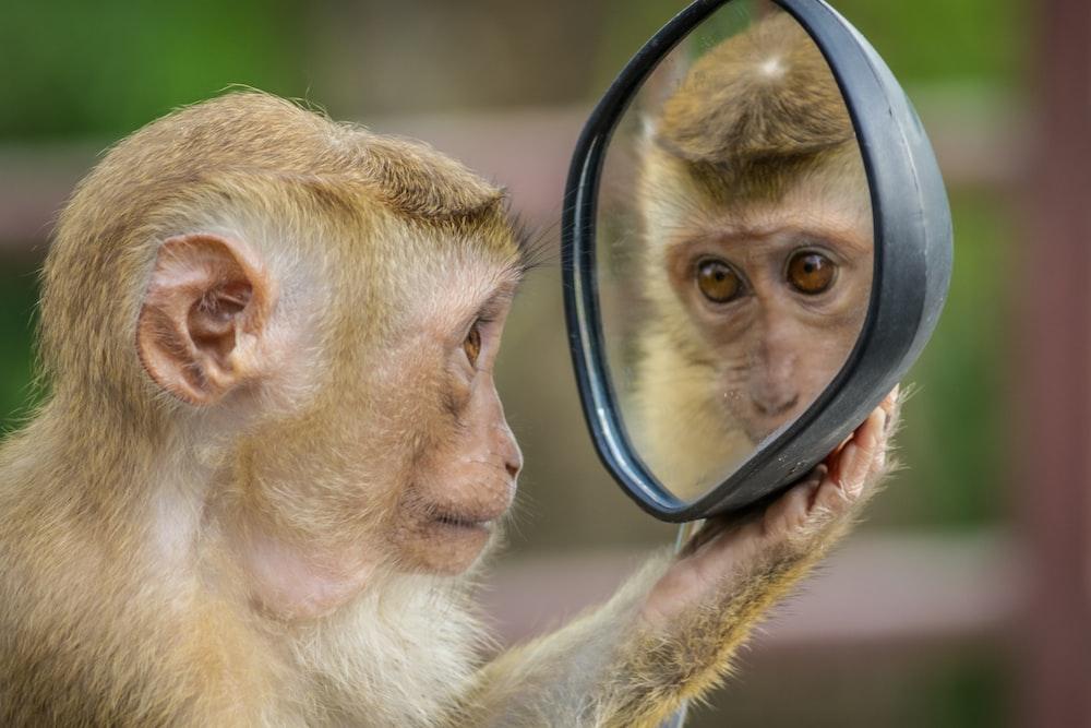 chimpanzee holding mirror