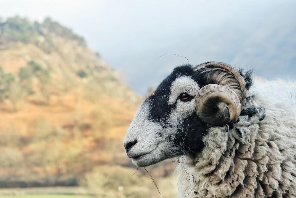 white ram near mountain at daytime