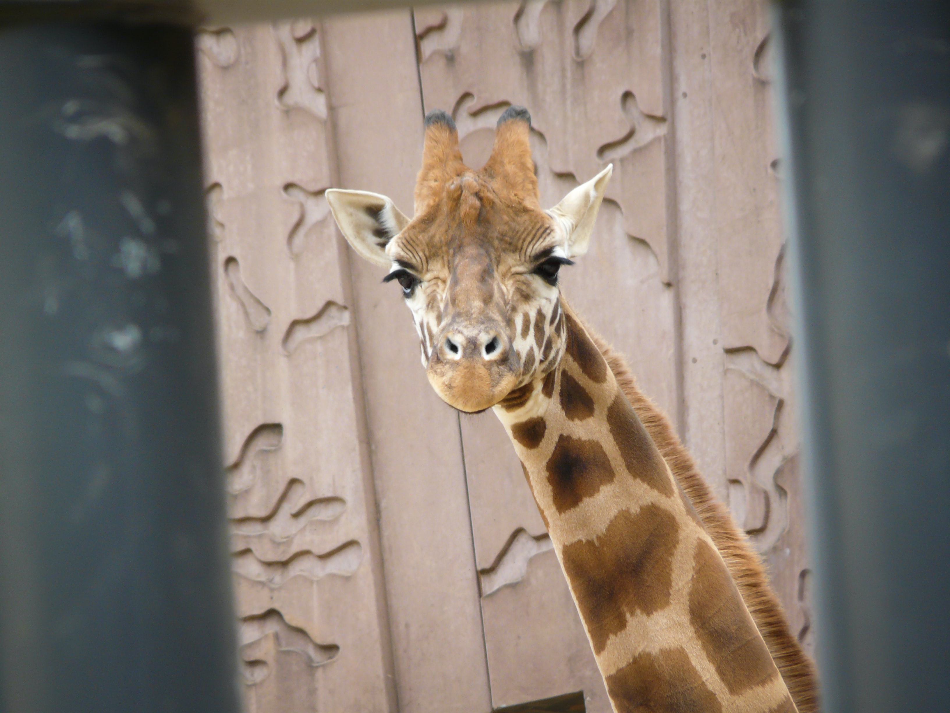 selective focus photography of giraffe