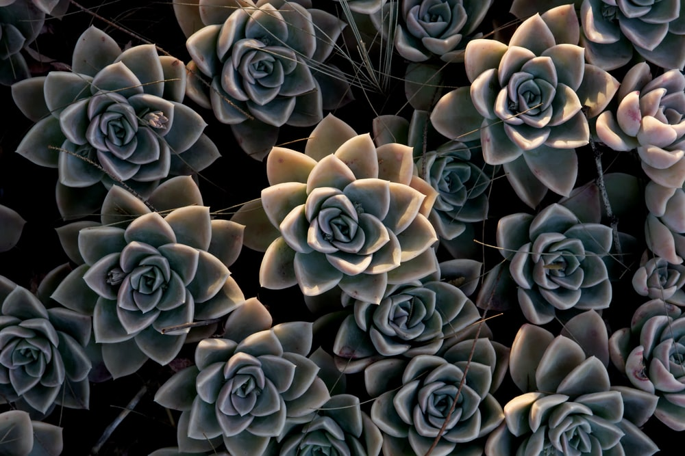 grayscale photo of succulent plants