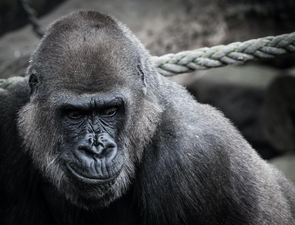 500 gorilla pictures download free images on unsplash