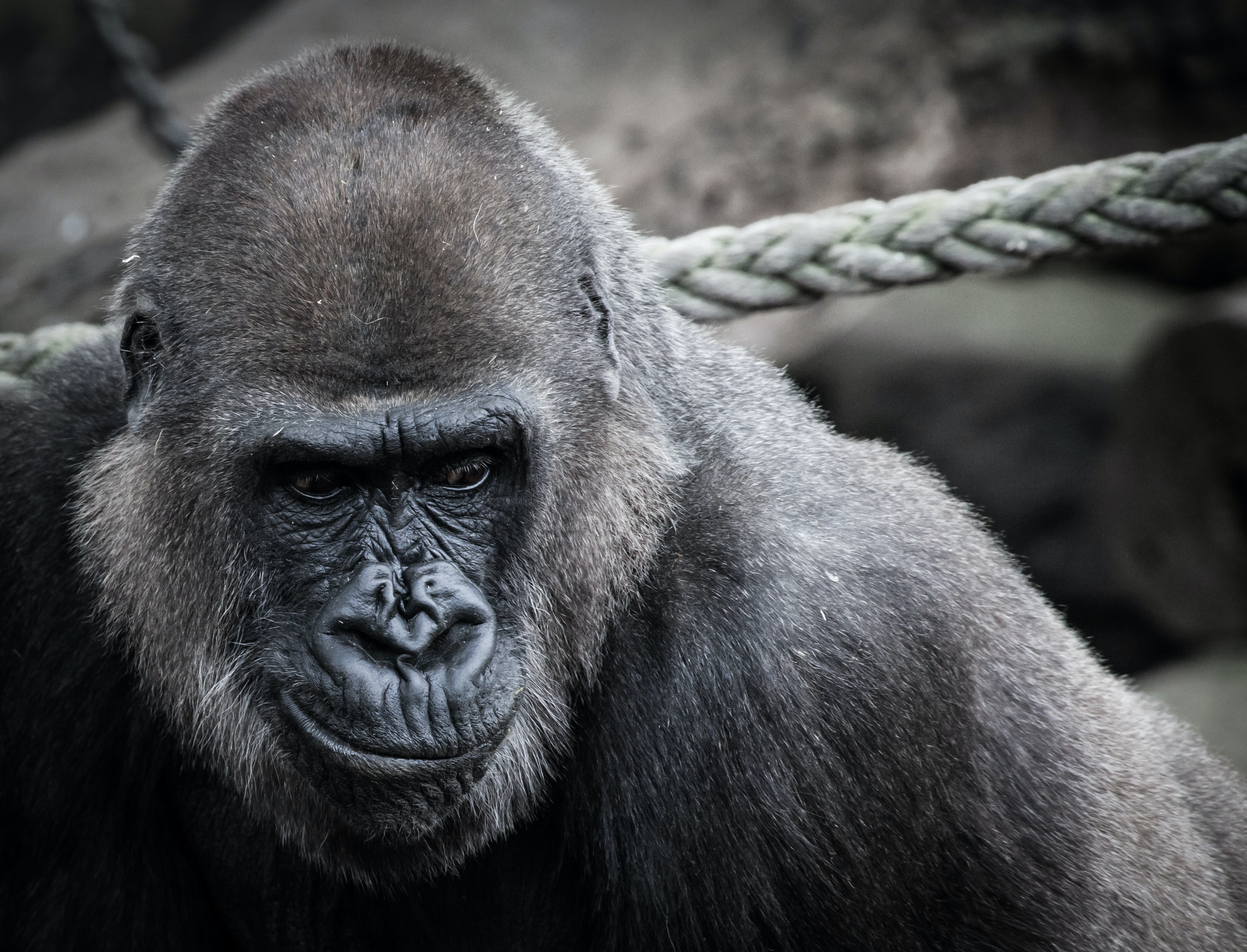black ape beside gray rope