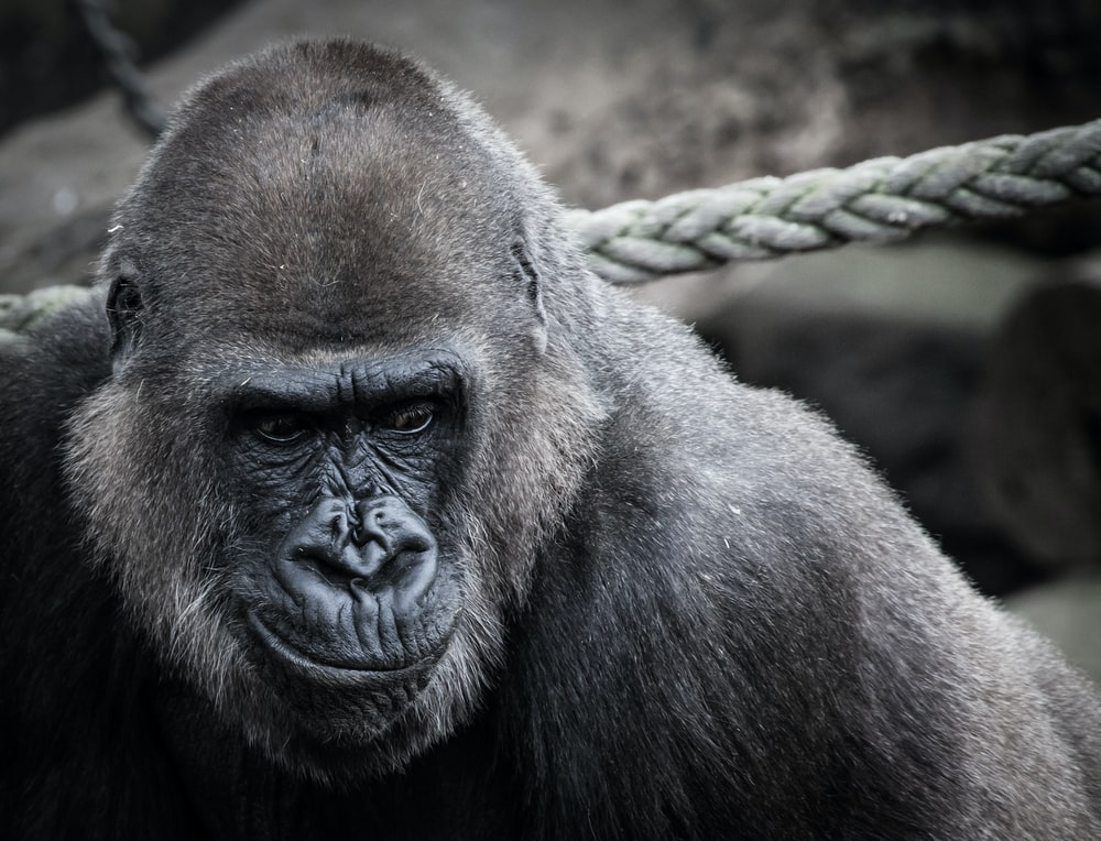 black ape beside gray rope