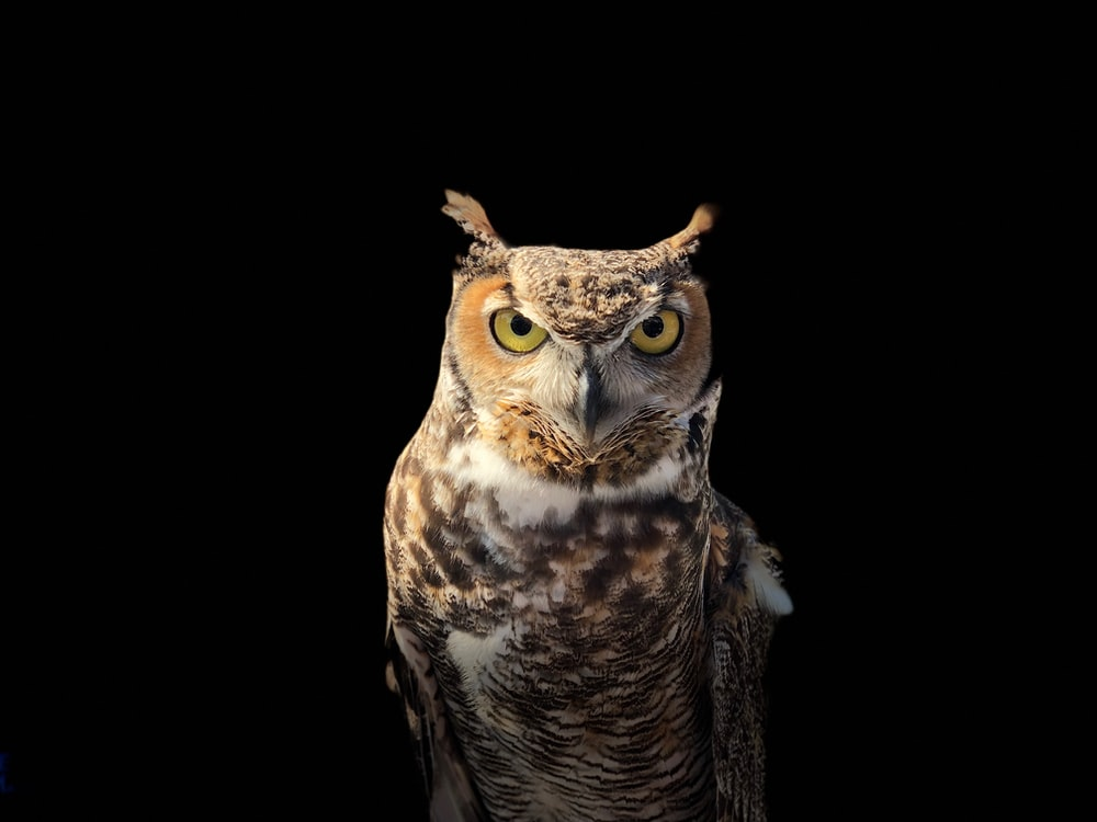 brown owl on a dark place