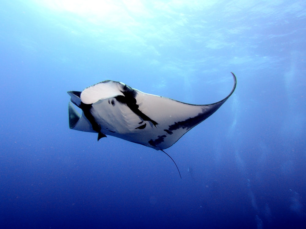 time lapse photography of white and black stingray in water