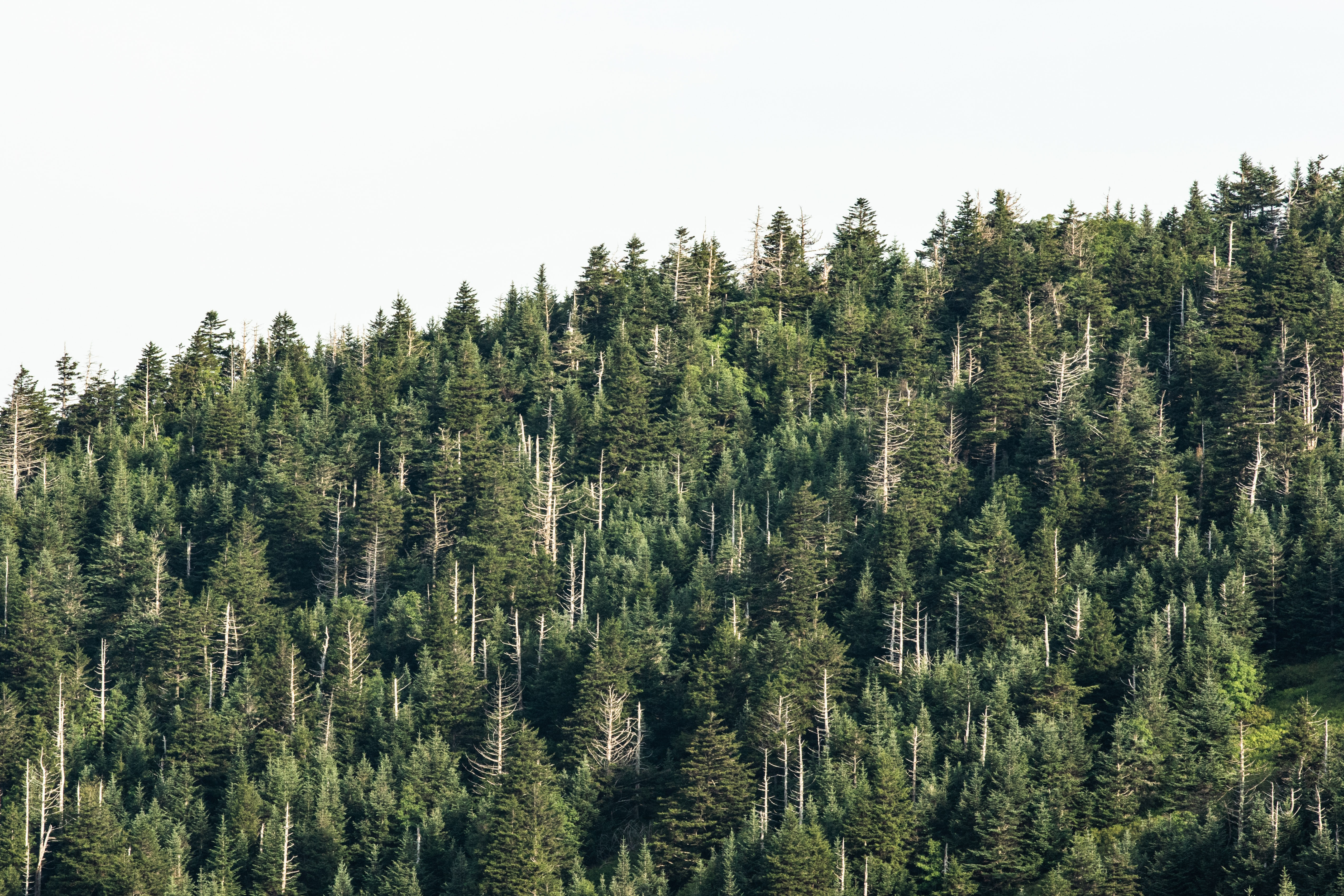 green pine trees
