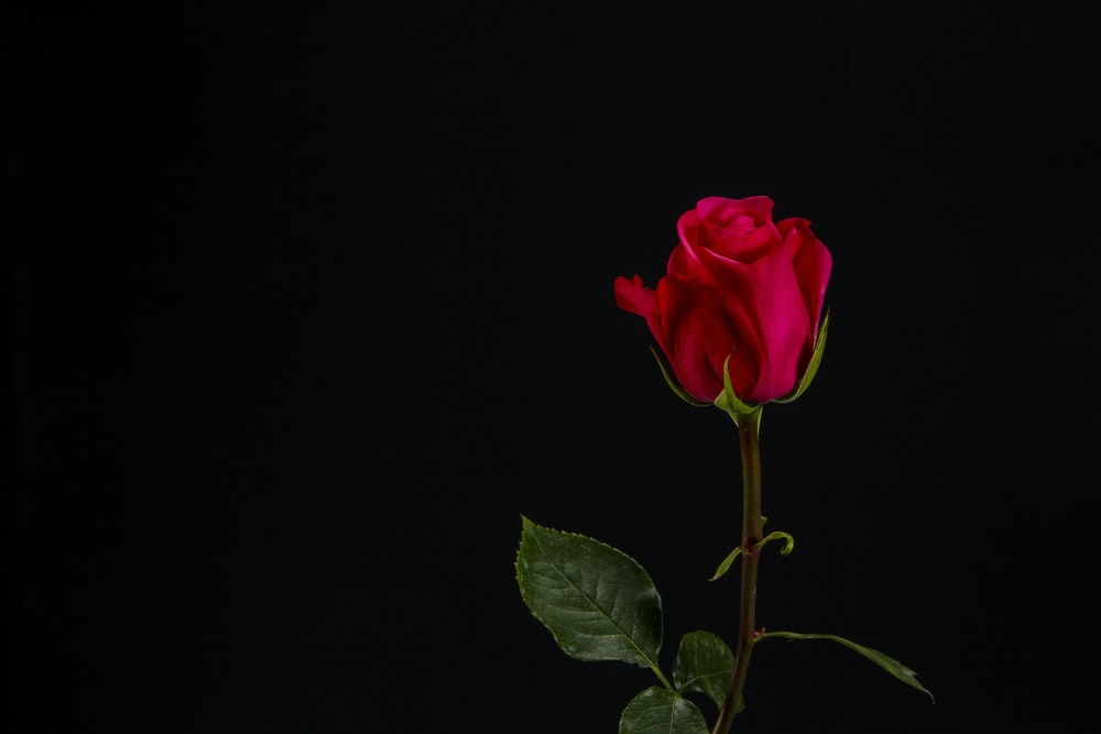 red rose with black background