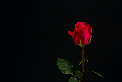 red rose with black background rose zoom background
