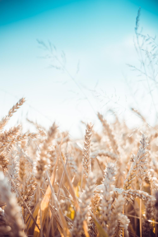 wheat plants