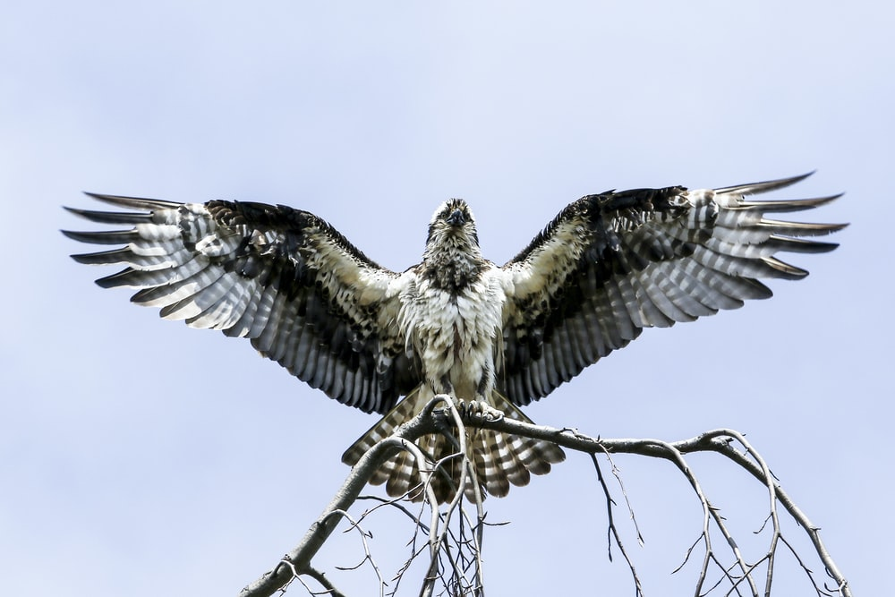 falcon on withered tree