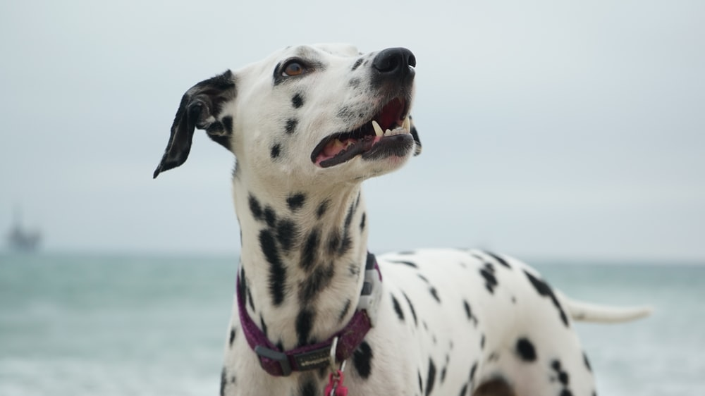 adult Dalmatian looking at right side