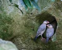 pair of blue birds on tree