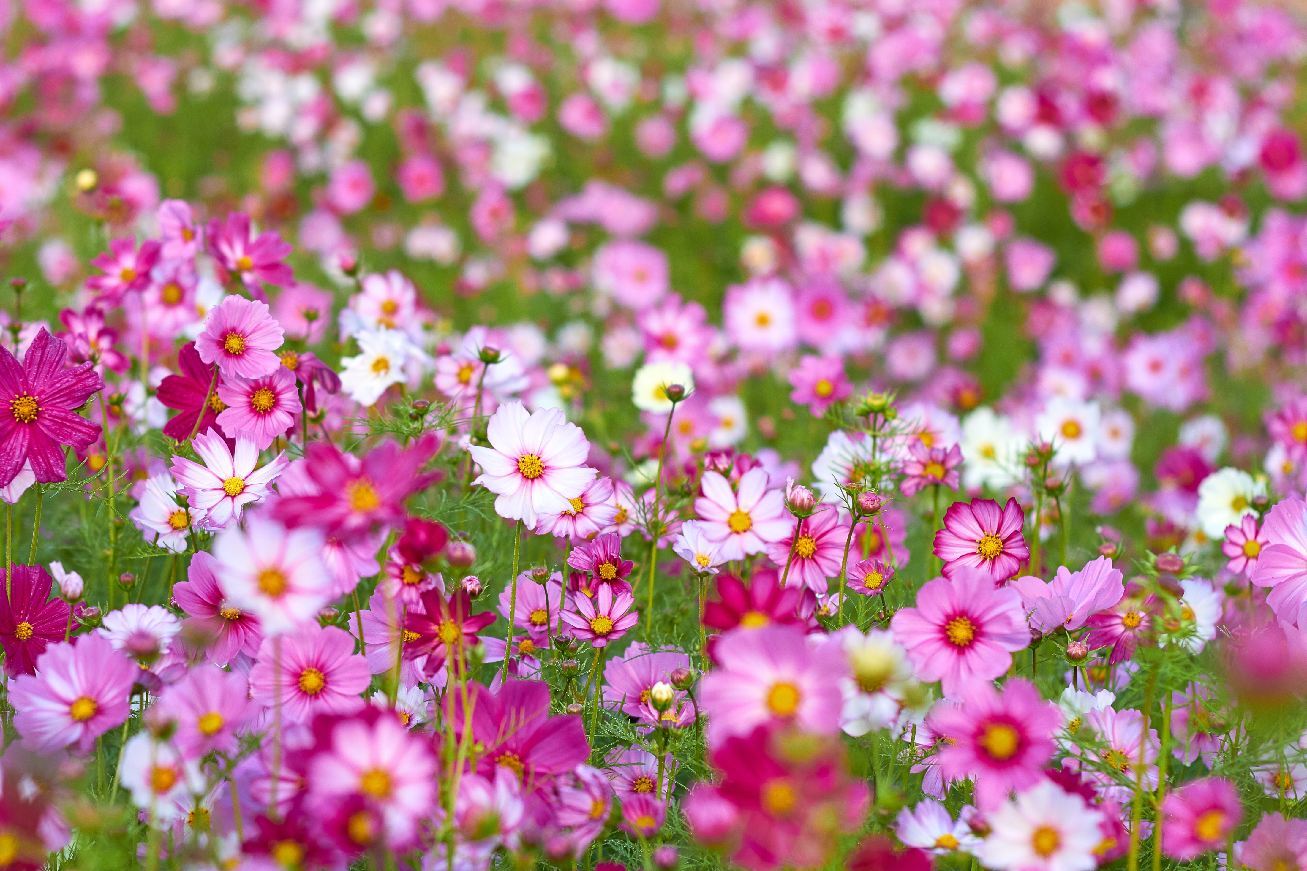 pink and white flower field