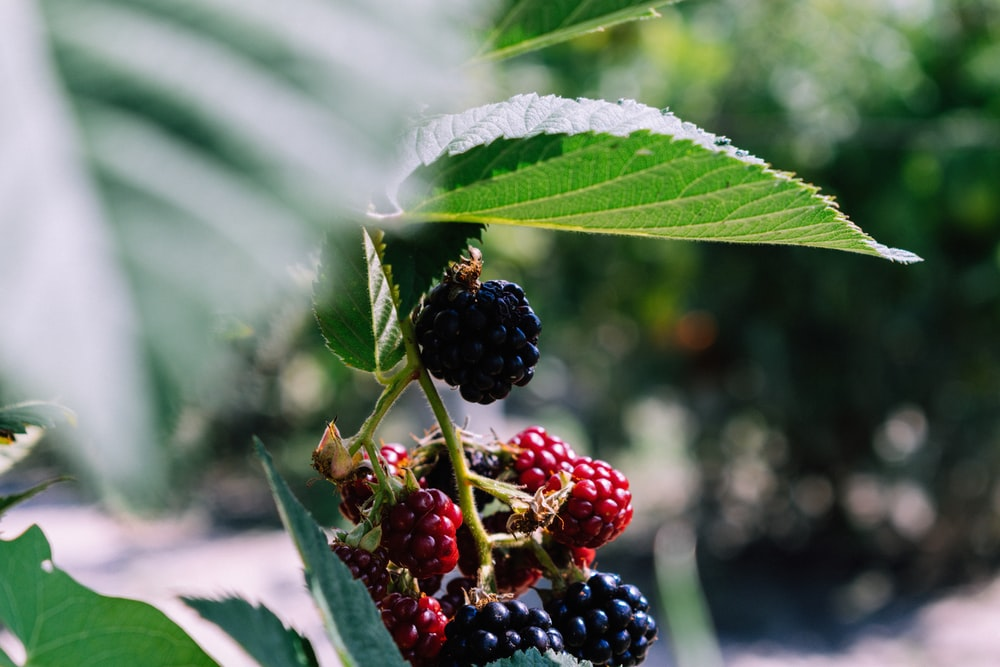 selective focus photography of red and blue raspberry fruits