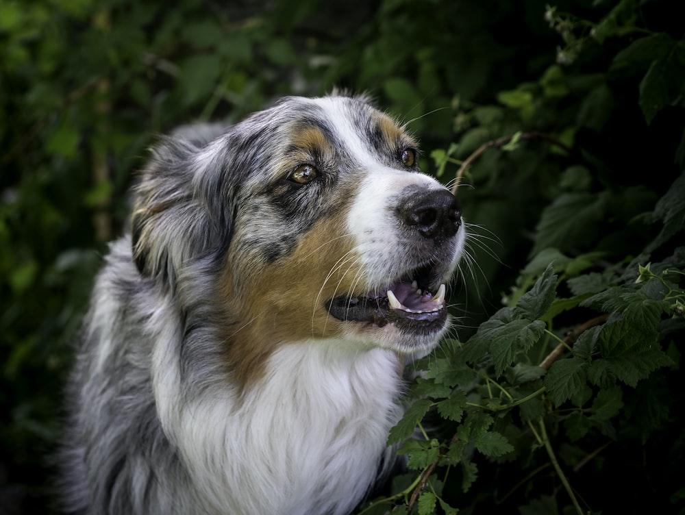 closeup photo of Australian shepherd near green leafed plant