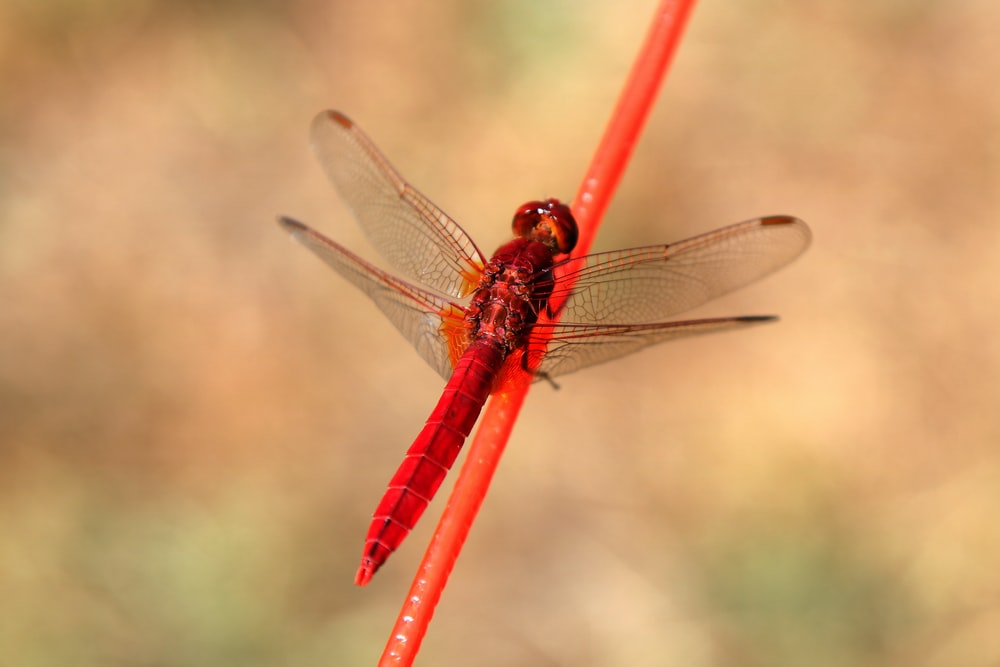 red firefly on red stick