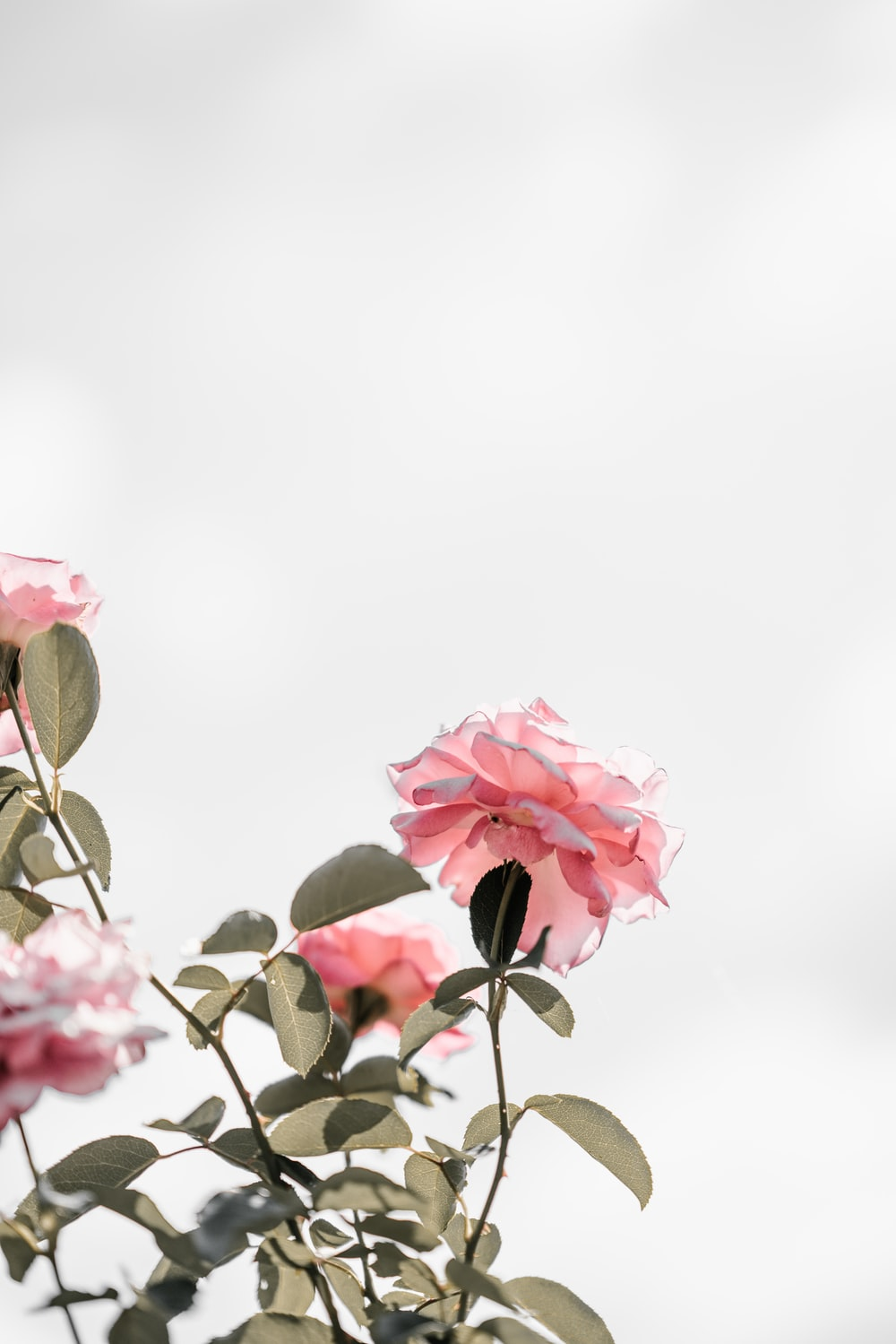 Pink flowers pictures hd download free images on unsplash pink petaled flowers mightylinksfo