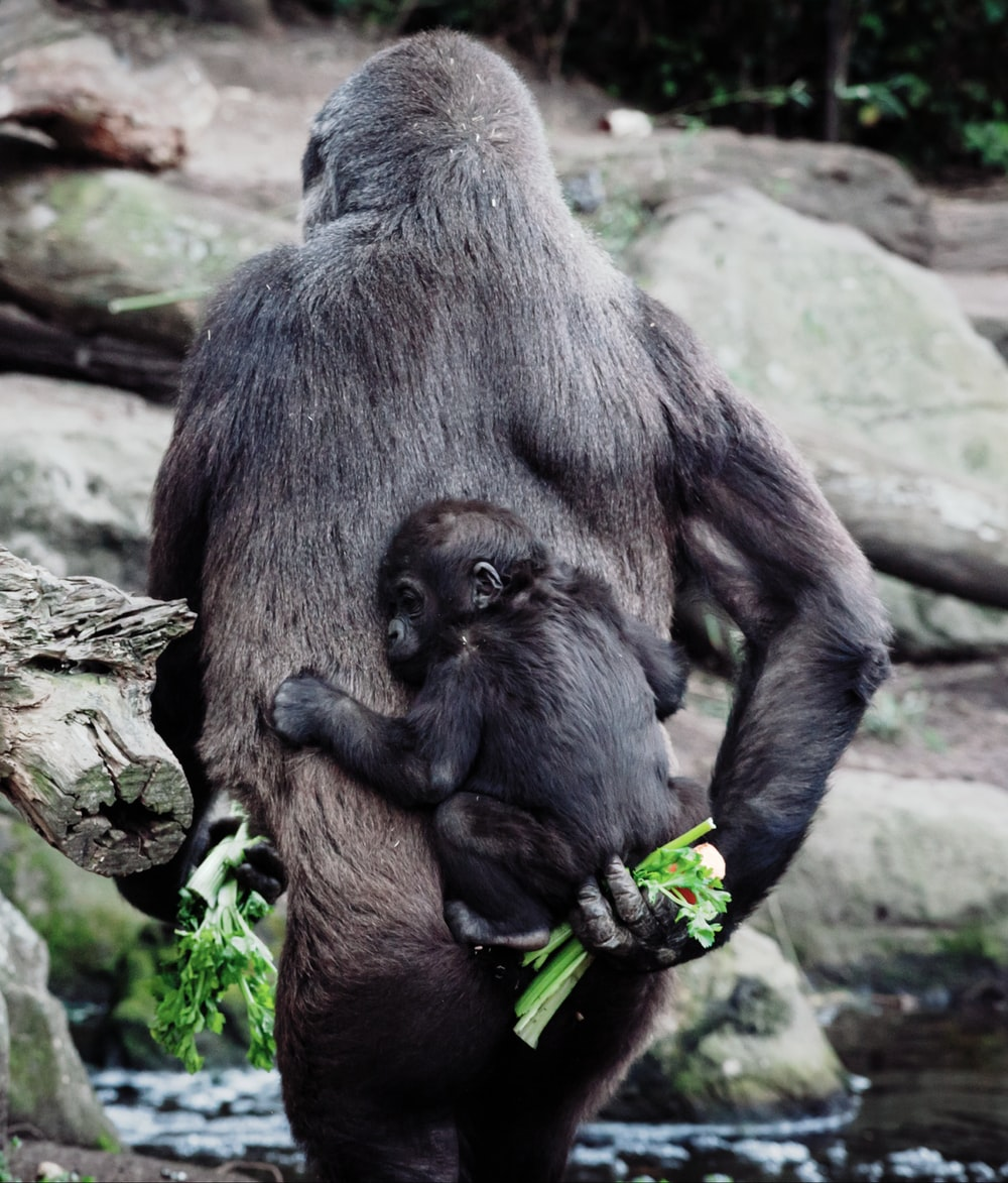 primate carrying young one on back