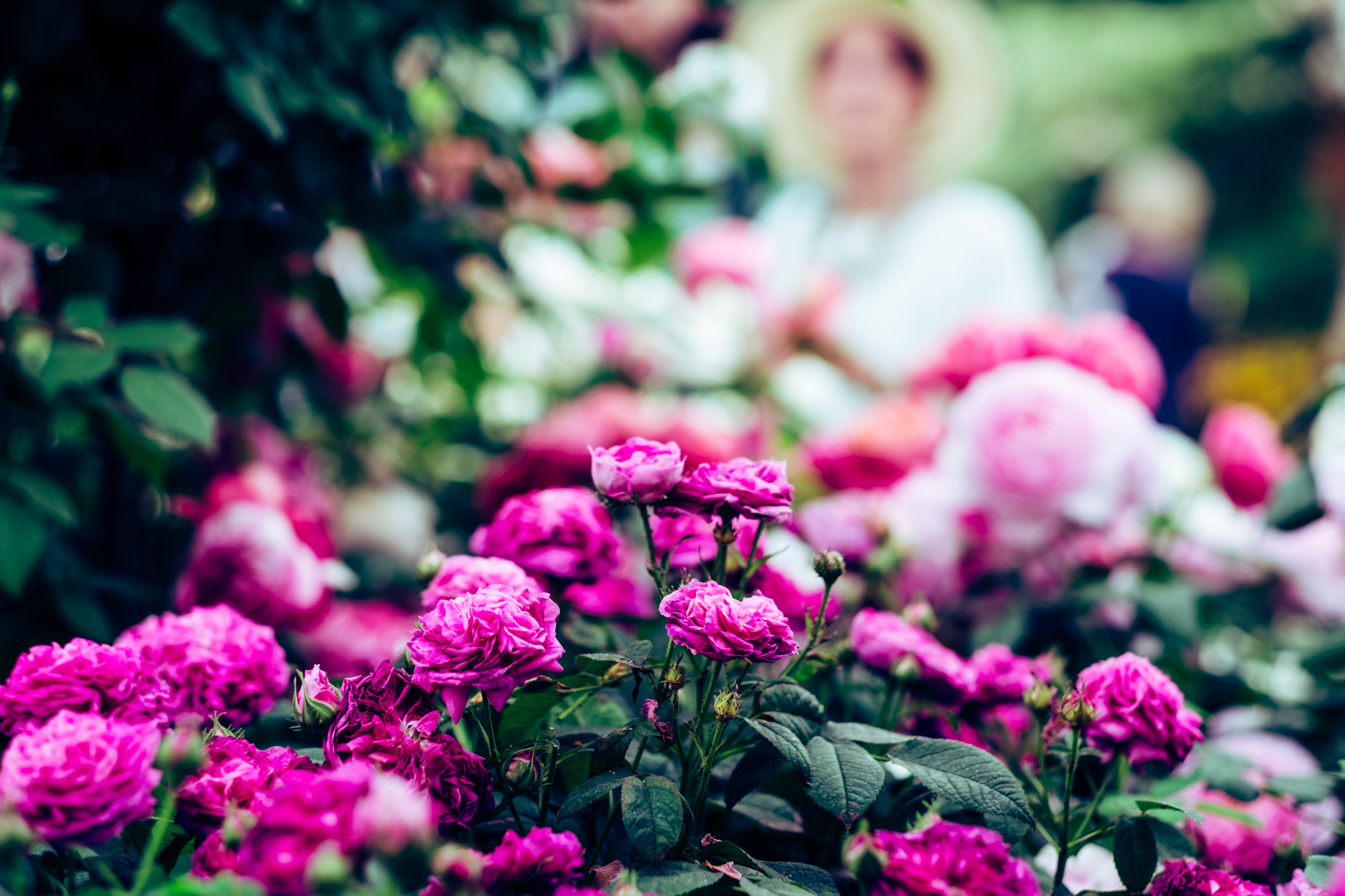 selective focus photography of pink roses