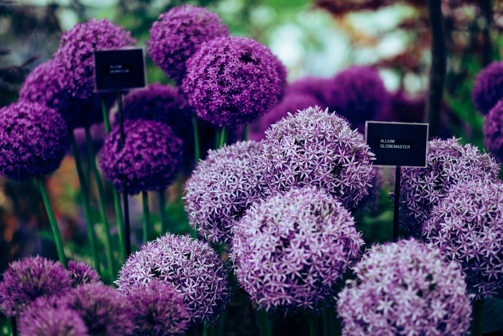 purple Allium plants