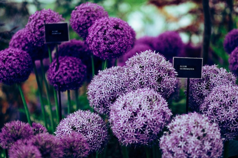 purple Allium plants