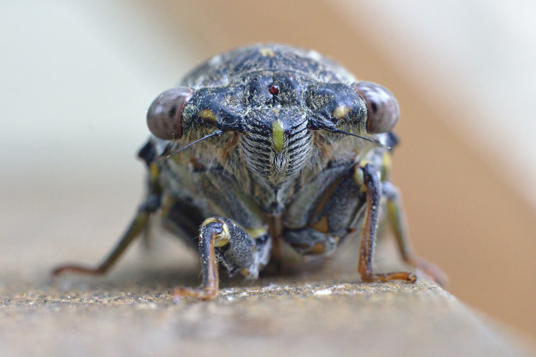 A close up portrait of a famous south french insect : the cicada. Well known for its singings when the temperature goes above 25° C during summer. This portrait has been possible during a fresh episode in France. The insect is then very quiet and not able to escape from the lens.