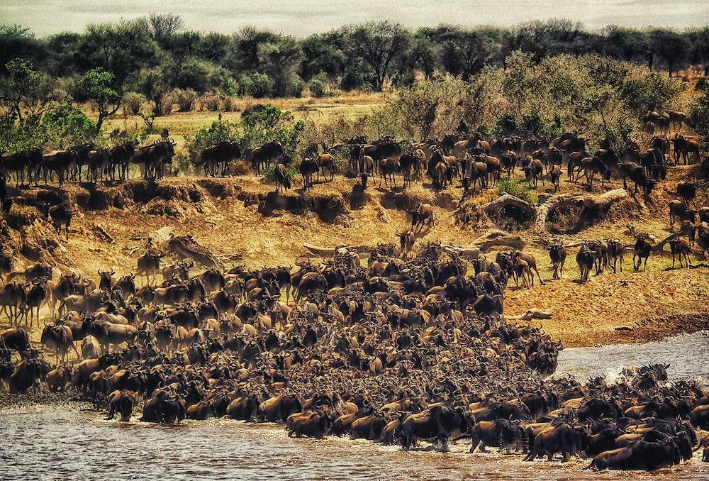 herd of buffalos crossing Masai Mara River