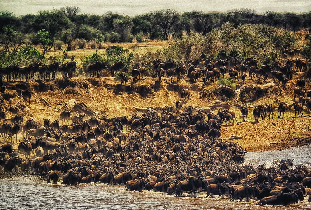 herd of buffalos