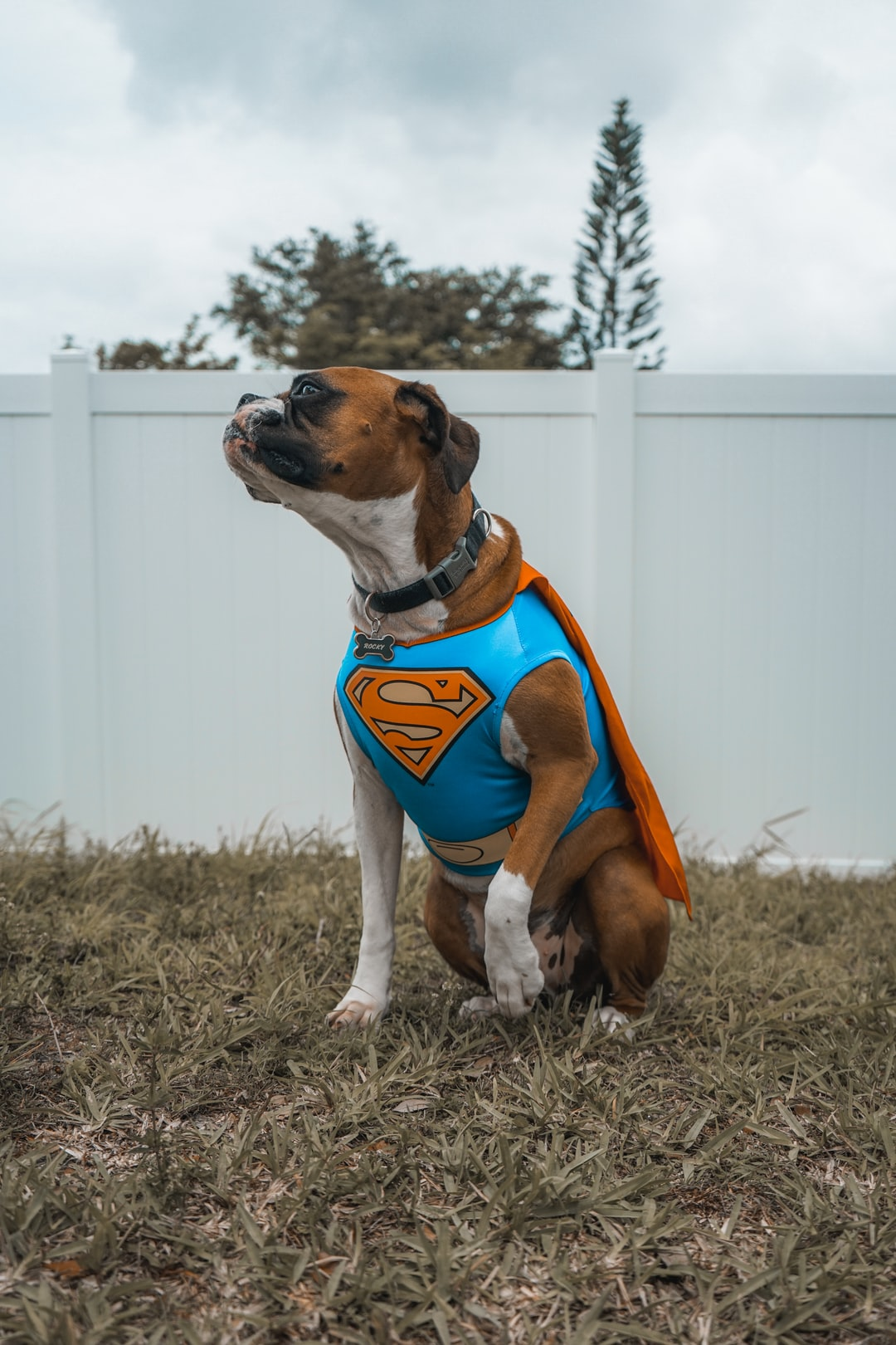 This is my dog in a Superman Costume. It was for his birthday and the photo was taken in my backyard.