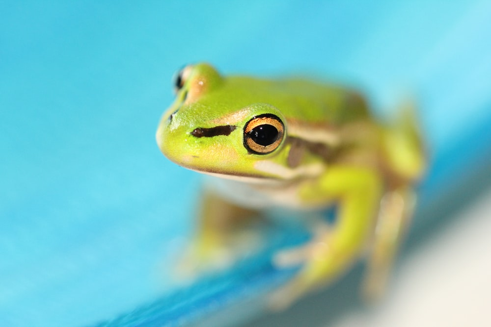 green frog on blue surface