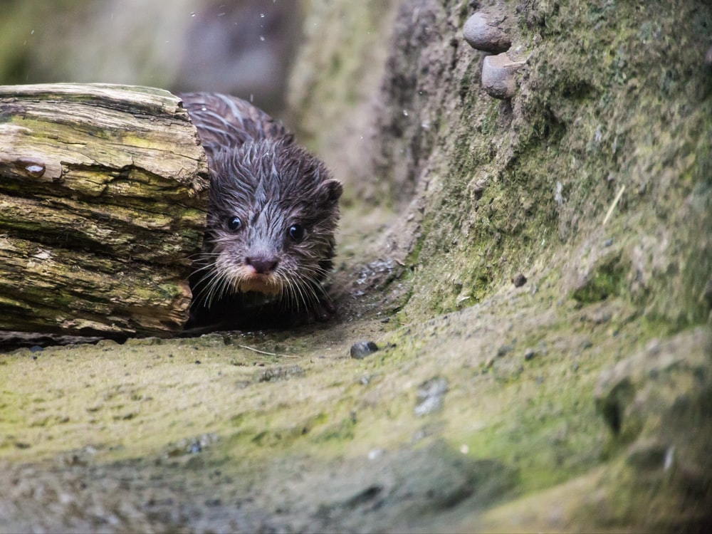 black beaver near log