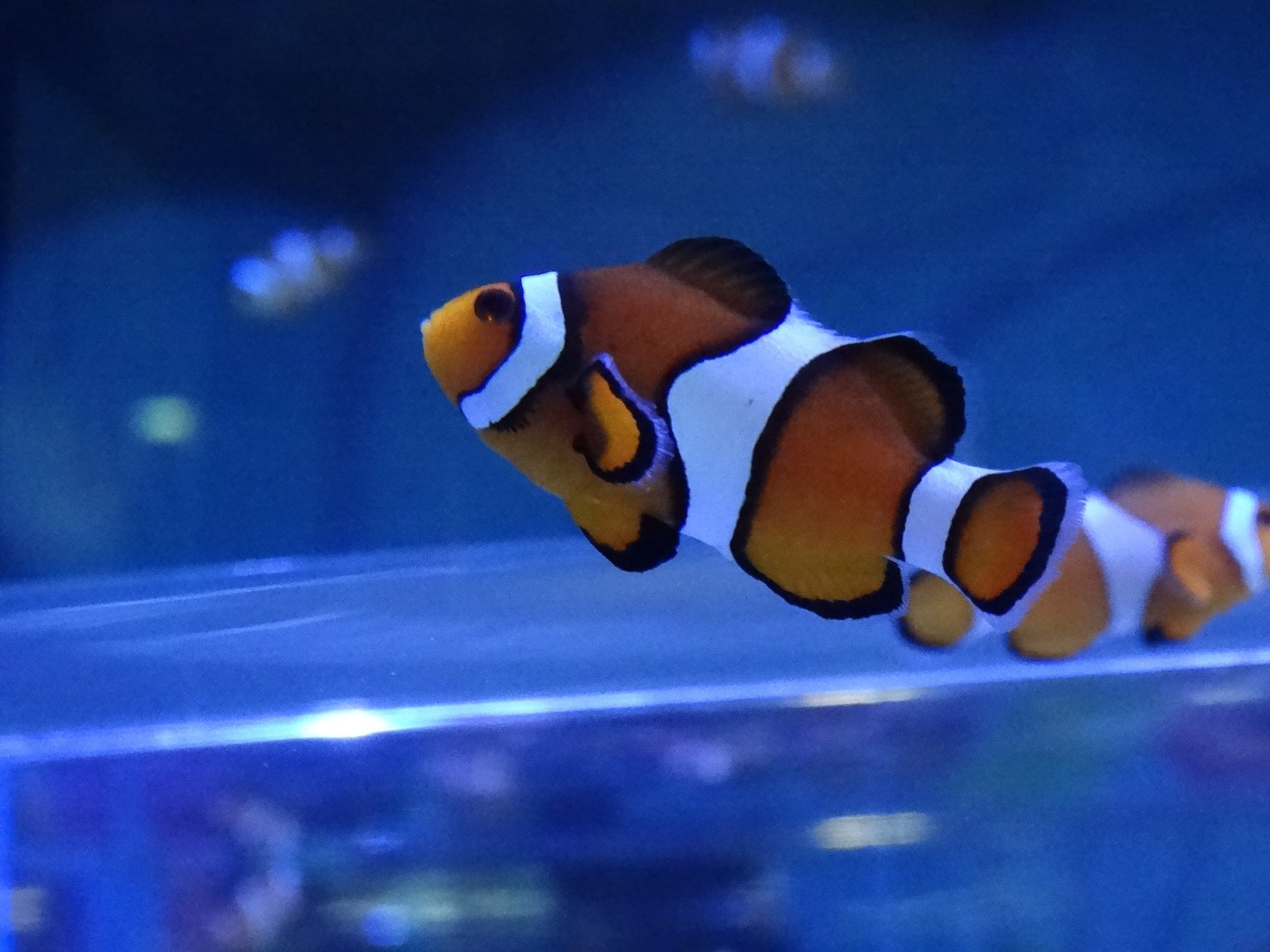 person taking photo of clown fish