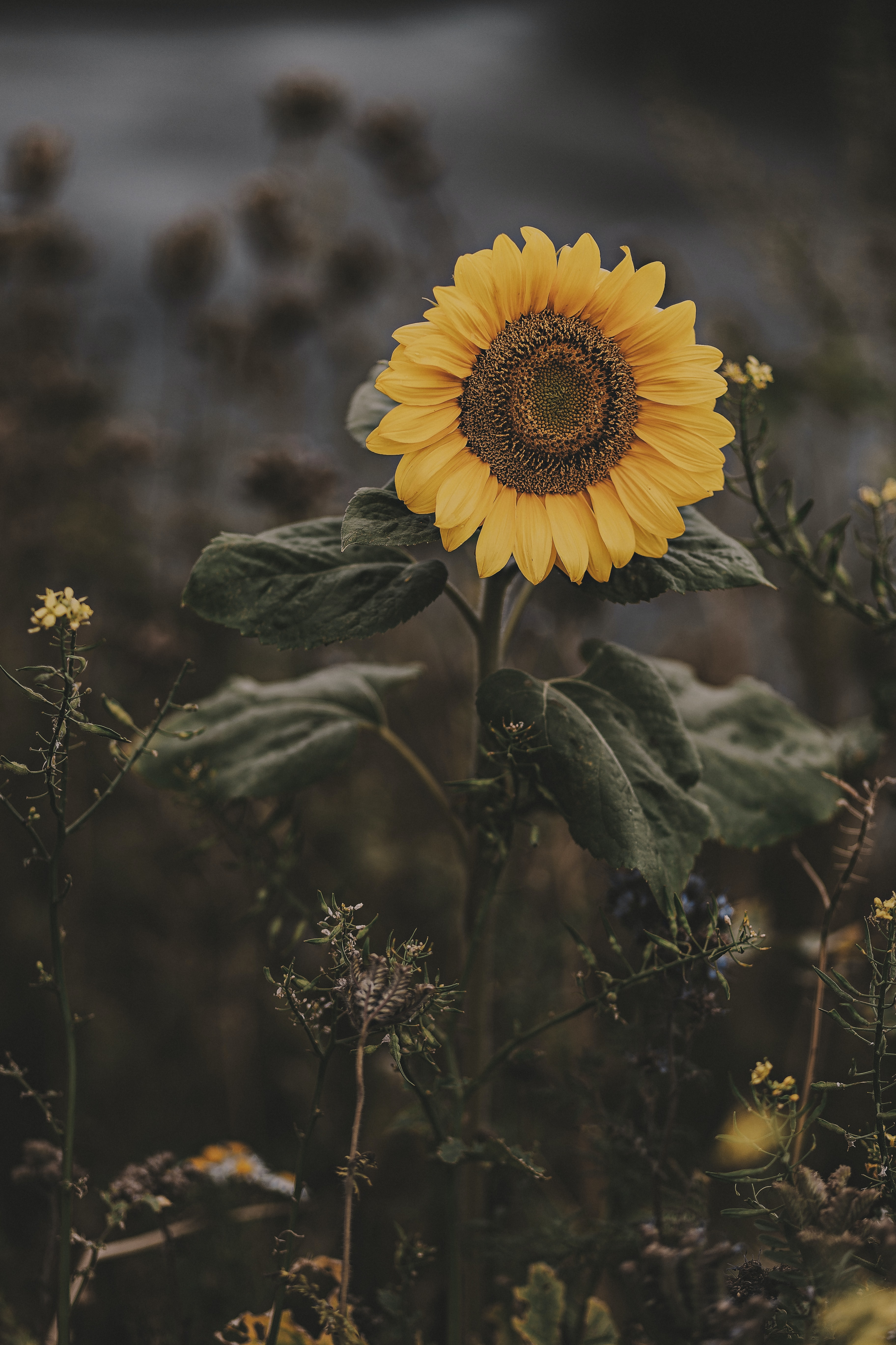 selective focus photography of sunfloer
